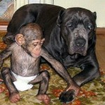 chimp9