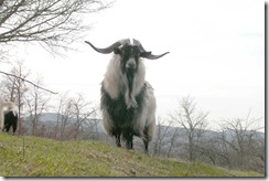 cashmere goat2