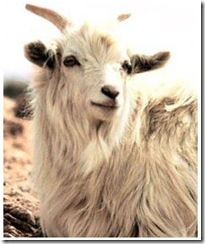 cashmere-goat