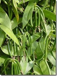 vanilla plant