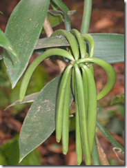 vanilla pod