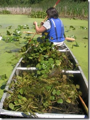 water chestnut pick